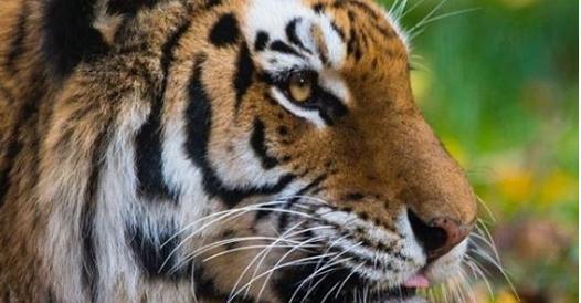 Coronavirus animali, tigre positiva nello zoo del Bronx: «Probabilmente contagiata da un dipendente»